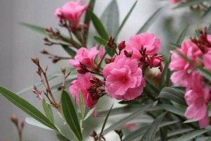 十大美丽剧毒植物排行榜夹竹桃第一,水仙花、罂粟上榜