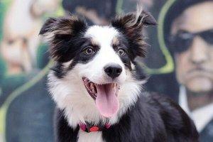 世界十大最受欢迎牧羊犬,冰岛牧羊犬上榜,第一最聪明