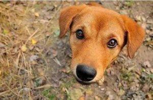 """十大最忠诚护卫犬排名,拉布拉多上榜,第一是最常见的""""土狗"""""""